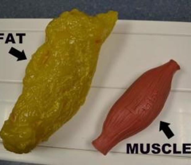 fat-vs-muscle1-300x240